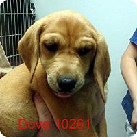 Adopt A Pet :: Dove - Greencastle, NC