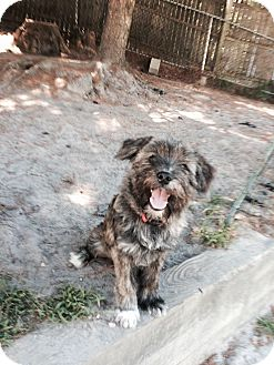Shih Tzu/Schnauzer (Miniature) Mix Puppy for adoption in Hillsborough, New Jersey - Pal