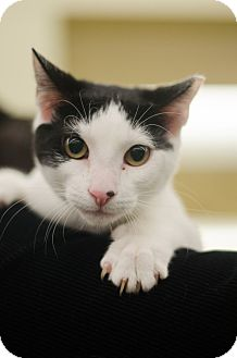 Domestic Shorthair Kitten for adoption in Sparta, New Jersey - Bebe