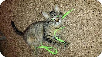 Domestic Mediumhair Kitten for adoption in Cedar Rapids, Iowa - Zoey