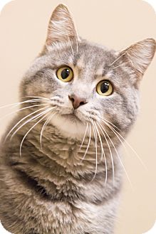 Domestic Shorthair Cat for adoption in Chicago, Illinois - Geo