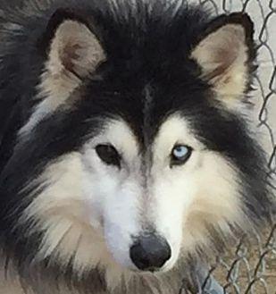 Siberian Husky Dog for adoption in Memphis, Tennessee - Buddha