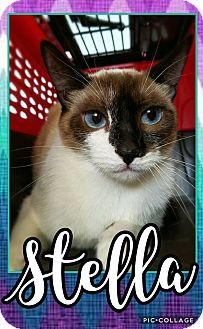 Siamese Cat for adoption in Edwards AFB, California - Stella