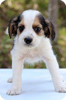 Spaniel (Unknown Type) Mix Puppy for adoption in Waldorf, Maryland - Fiji