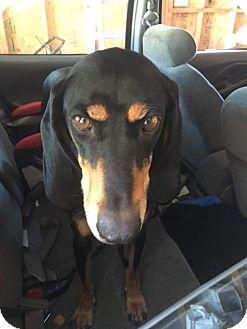 Hound (Unknown Type) Mix Dog for adoption in Ogden, Utah - Sam