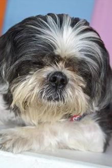Shih Tzu Mix Dog for adoption in Englewood, Florida - Buttercup aka Butters