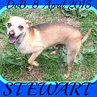 Chihuahua Mix Dog for adoption in Allentown, Pennsylvania - STEWART