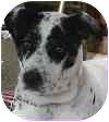 Dalmatian/Cattle Dog Mix Dog for adoption in Sacramento, California - Kayley