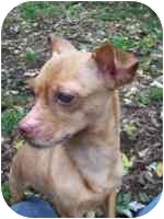 Chihuahua Dog for adoption in Warren, New Jersey - Cutie the chihuahua