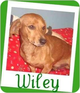 Dachshund/Dachshund Mix Dog for adoption in Bristow, Oklahoma - Wiley
