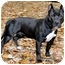 Photo 3 - American Staffordshire Terrier Dog for adoption in Chicago, Illinois - Mia