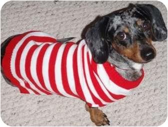 Dachshund Dog for adoption in San Angelo, Texas - Jaxon