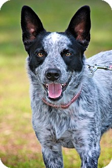 Australian Cattle Dog Dog for adoption in Albany, New York - Echo