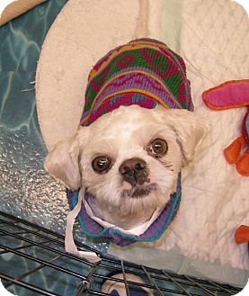 Poodle (Miniature)/Shih Tzu Mix Dog for adoption in Las Vegas, Nevada - Benedict***