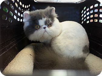 Persian Kitten for adoption in Beverly Hills, California - mizu