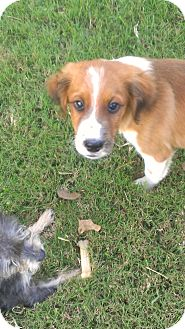 Spaniel (Unknown Type)/Collie Mix Puppy for adoption in League City, Texas - Buddy--ADOPTED!!