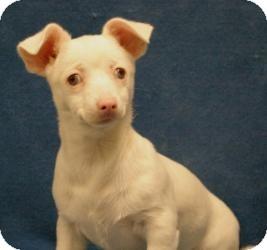 Chihuahua/Dachshund Mix Puppy for adoption in Sacramento, California - Rosie