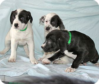 Spaniel (Unknown Type)/Labrador Retriever Mix Puppy for adoption in Howell, Michigan - Tallahassee's Puppies Male