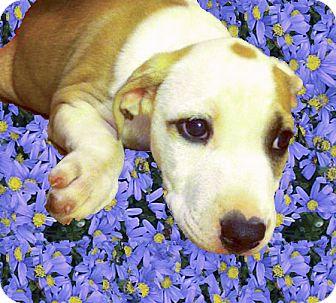 American Bulldog/Labrador Retriever Mix Puppy for adoption in Sacramento, California - Tonka sweet boy