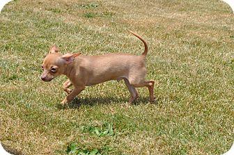 Chihuahua Puppy for adoption in Tumwater, Washington - Ringo
