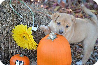 Boxer/Pug Mix Puppy for adoption in Saskatoon, Saskatchewan - Mia Tia