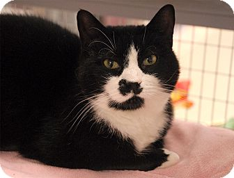 Domestic Shorthair Cat for adoption in Winchendon, Massachusetts - Mittens