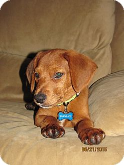 Beagle Mix Puppy for adoption in Homer, New York - Finn