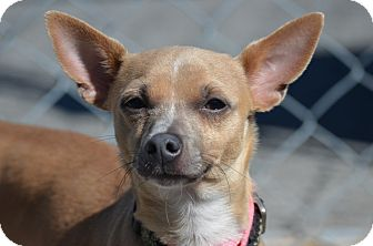 Chihuahua/Dachshund Mix Puppy for adoption in Beacon, New York - Lew