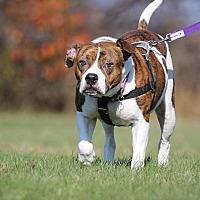 American Bulldog/Beagle Mix Dog for adoption in Shrewsbury, New Jersey - Nani