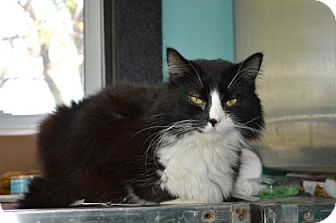 Domestic Longhair Cat for adoption in Monroe, Michigan - Smudge