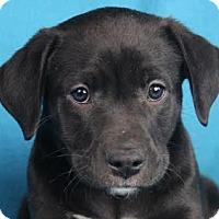 Adopt A Pet :: Hank - Minneapolis, MN