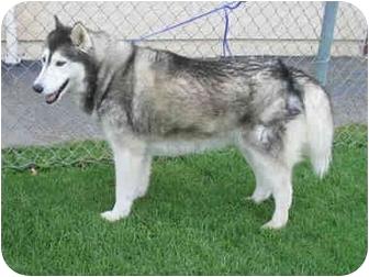 Alaskan Malamute/Siberian Husky Mix Dog for adoption in Southern California, California - GIRL - URGENT