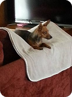 Chihuahua Mix Dog for adoption in Colton, California - Little Sweety