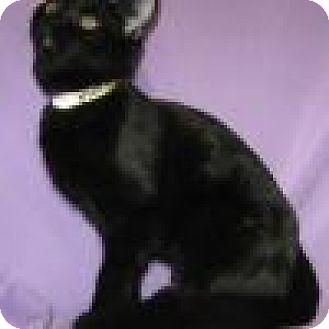 Domestic Shorthair Cat for adoption in Powell, Ohio - Zahara