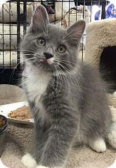 Domestic Mediumhair Kitten for adoption in Horsham, Pennsylvania - Brutus
