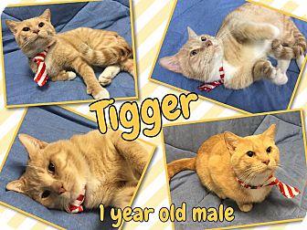 Domestic Shorthair Cat for adoption in Lexington, North Carolina - TIGGER