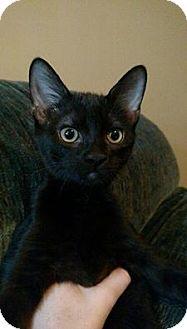 Domestic Shorthair Kitten for adoption in Middletown, Ohio - Jones