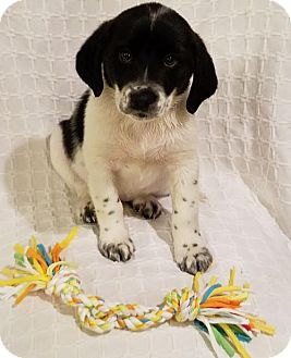 Border Collie Mix Puppy for adoption in Elkton, Maryland - Bruno
