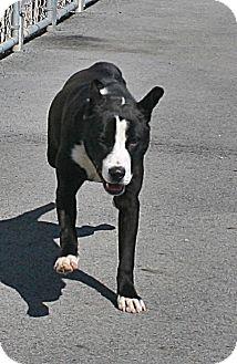 Border Collie/Labrador Retriever Mix Dog for adoption in Beebe, Arkansas - Bear