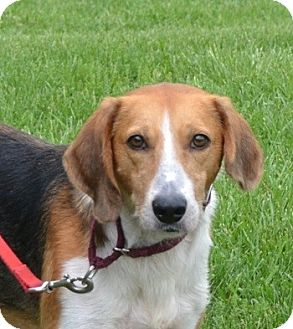 Treeing Walker Coonhound/Foxhound Mix Dog for adoption in Mineral, Virginia - Jasper, D10