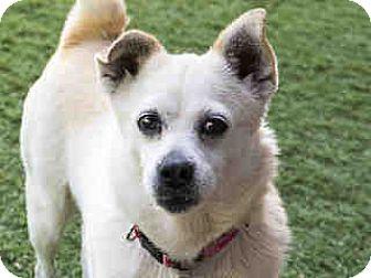 Chihuahua Mix Dog for adoption in Agoura, California - Deirdre