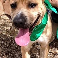 Adopt A Pet :: Beau - Casa Grande, AZ