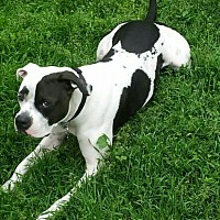 American Pit Bull Terrier Dog for adoption in San Diego, California - Achilles