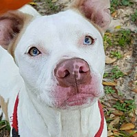 Adopt A Pet :: Pippi - Jacksonville, FL