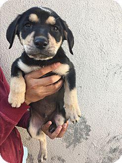Retriever (Unknown Type)/German Shepherd Dog Mix Puppy for adoption in LAKEWOOD, California - Peter
