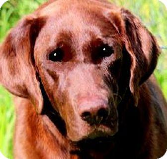 Labrador Retriever Dog for adoption in Wakefield, Rhode Island - GORMAN(WHAT A SAD STORY!!!