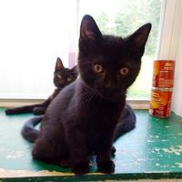 Adopt A Pet :: Jedi - Belleville, MI