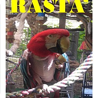 Adopt A Pet :: Rasta' The Greenwing Macaw - Vancouver, WA