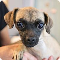 Adopt A Pet :: Lil Bit - Allentown, PA