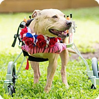 Adopt A Pet :: Angel - Spring, TX